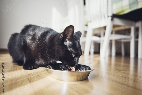 Hungry domestic cat - 226316453