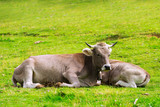 Herd of Charolais cross Brahman cattle. Charbray, a versatile beef breed, combines lean beef characteristics and docile   temperament of the Charolais with hardiness and tick resistance of the Brahman