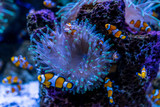 Tropical fish Clownfish (Amphiprioninae) among corals. - 226334092