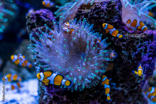 Foto Murales Tropical fish Clownfish (Amphiprioninae) among corals.