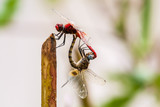 Closeup of two dragonflies mating - 226342639