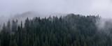 Dense pine forest in morning mist. Foggy Pine Forest. - 226350075