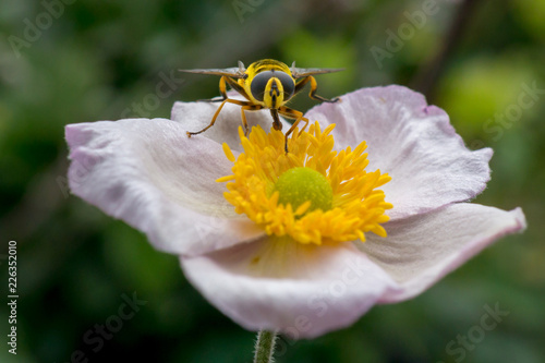 Hoverfly on a white garden flower - 226352010
