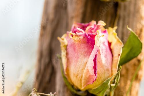 eine getrocknete bunte Rose mit verschwommenem Holz Hintergrund