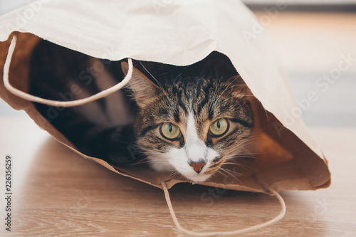 a striped cat sits inside a paper bag and looks out of it on white background