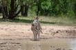 Plains zebra (common zebra, Burchell's zebra, quagga) ( Equus quagga) standing at waterhole.