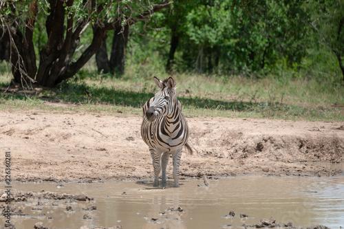 Plains zebra (common zebra, Burchell's zebra, quagga) ( Equus quagga) standing at waterhole. - 226360281