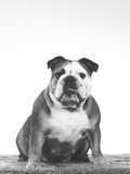Bulldog face in black and white. Copy space. - 226368652