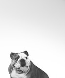 Bulldog face in black and white. Copy space. - 226368671