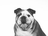 Bulldog face in black and white. Copy space. - 226368684