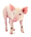 Pig on white. - 226376663