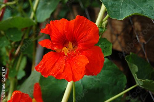 red flower - 226378857