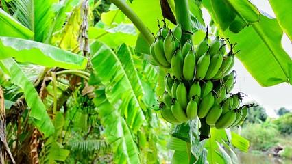 Green bananaon tree