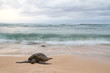 An endangered Hawaiian green sea turtle resting on a beach on Oahu with motion blurred waves and a stormy sky.