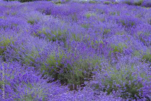 Lavender field - 226385490