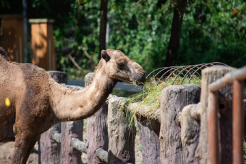 Camel is eating grass