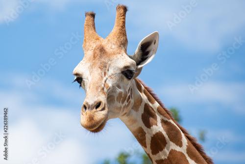 Leinwandbild Motiv A giraffe's habitat is usually found in African savannas, grasslands or open woodlands