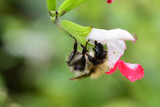 Upside down bee on a salvia flower - 226395201