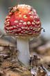 Leinwandbild Motiv Amanita muscaria fly agaric red mushrooms with white spots in grass