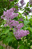 Purple lilac flowers in spring - 226399693