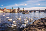 Swans on Vltava river, towers and Charles Bridge in early spring. Prague, Czech Republic.