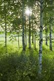 Birch gove - 226408888