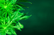 Leinwanddruck Bild - Marihuana plants close up. Green background. Cannabis flowers. Growing indoor cultivation. Planting weed. Top view. Medical cannabis and legalization of marijuana. Marijuana leaves.