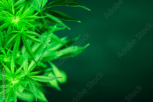 Leinwanddruck Bild Marihuana plants close up. Green background. Cannabis flowers. Growing indoor cultivation. Planting weed. Top view. Medical cannabis and legalization of marijuana. Marijuana leaves.