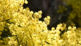 Acacia pycnantha, commonly known as the Golden Wattle, is Australia national flower and commonly known as Acacias. Blossoming of mimosa tree. - 226416610