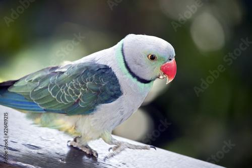 Foto Murales malabar parakeet