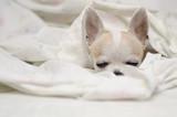 Perro chihuahua en la cama