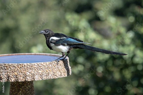 Magpie Birds In Backyards magpie drinking from a backyard bird bath | buy photos | ap images