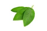 Isolated Sage Leaves. - 226437897