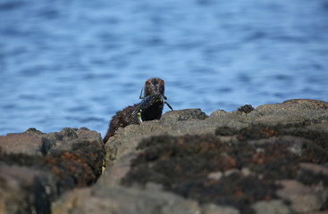 A wild Mink (Neovison vison) with a crab that it has just caught in the sea and is about to eat in Scotland, UK. © Sandra