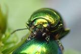 metal green beetle