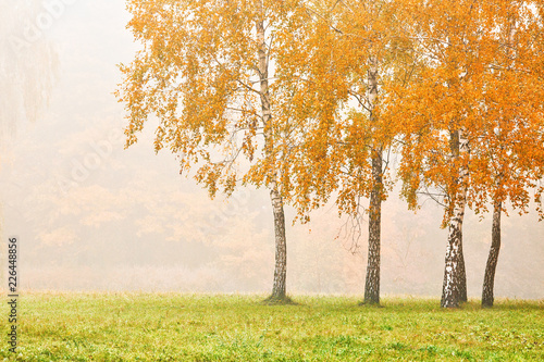 Birches in the city park on a foggy morning, beautiful autumn landscape - 226448856
