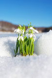Snowdrops rising from the snow and ice
