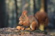 Leinwandbild Motiv Art view on wild nature. Cute red squirrel with long pointed ears in autumn scene . Wildlife in November forest. Squirrel sitting on the stump with a nut. Sciurus vulgaris