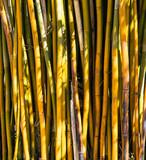 Fundo com bambu amarelo