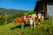 Leinwanddruck Bild - Small herd of cows graze in the Alpine meadow in Switzerland