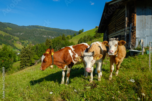 Leinwanddruck Bild Small herd of cows graze in the Alpine meadow in Switzerland