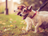 Two purebred dogs Jack Russell Terrier in the autumn park