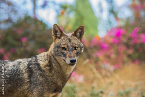 Fototapeta Golden jackal at natural habitat