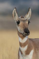 Pronghorn Antelope Doe © natureguy