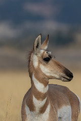 Pronghorn Antelope Doe © natureguy