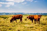 Vaches de Salers