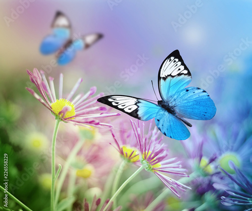 Beautiful blue butterfly and pink flowers. Summer and spring background - 226558229