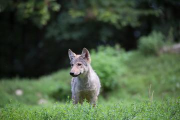 Wolf © Markus Heber