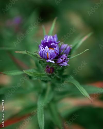 Foto Murales Purple flower macro