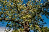 Flowering Acacia tree against the blue sky, rural area. - 226564007
